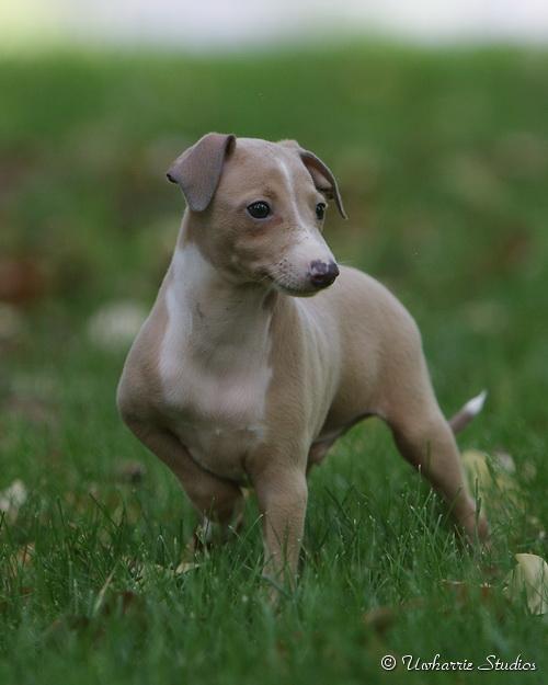 Uwharrie Italian Greyhounds